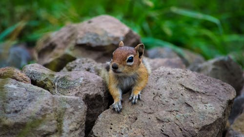 A Close-Up Shot of a Golden-Mantled Ground Squirrel