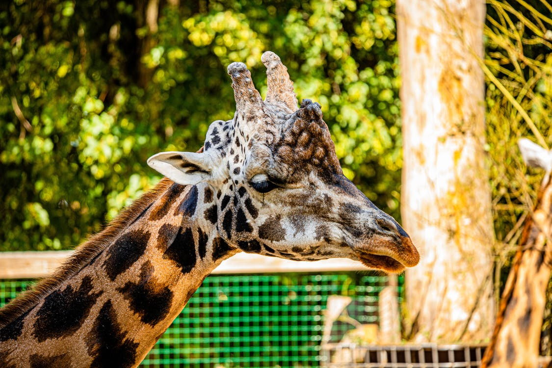 Brown and Black Giraffe Eating Grass