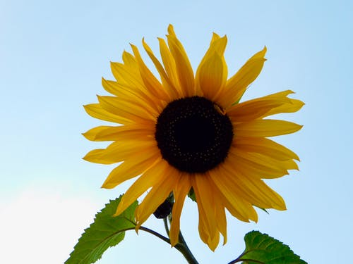 Free stock photo of Beautiful sunflower