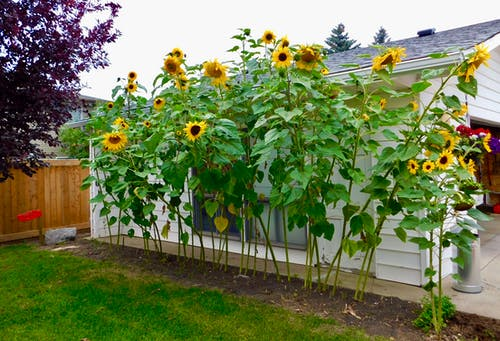 Free stock photo of very tall sunflower 2020