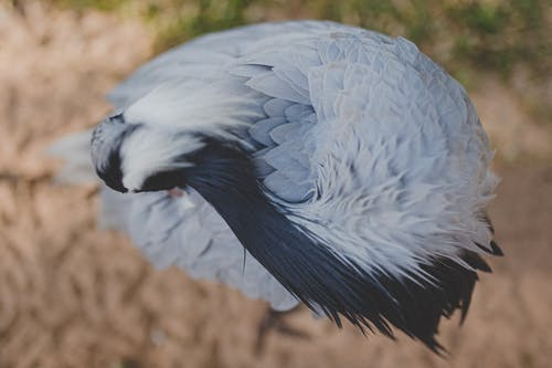 Grey Crowned Crane Bird on Brown Ground