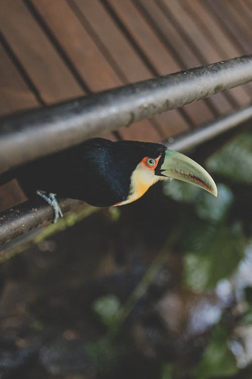 Toucan Perched on a Railing