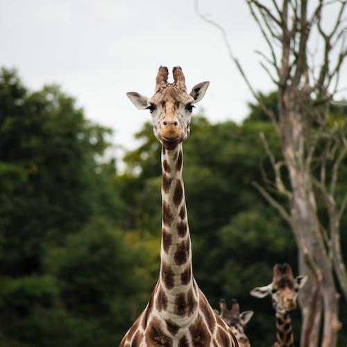 Giraffe Near Green Leaved Tress Shallow Focus Photograph during Daytime