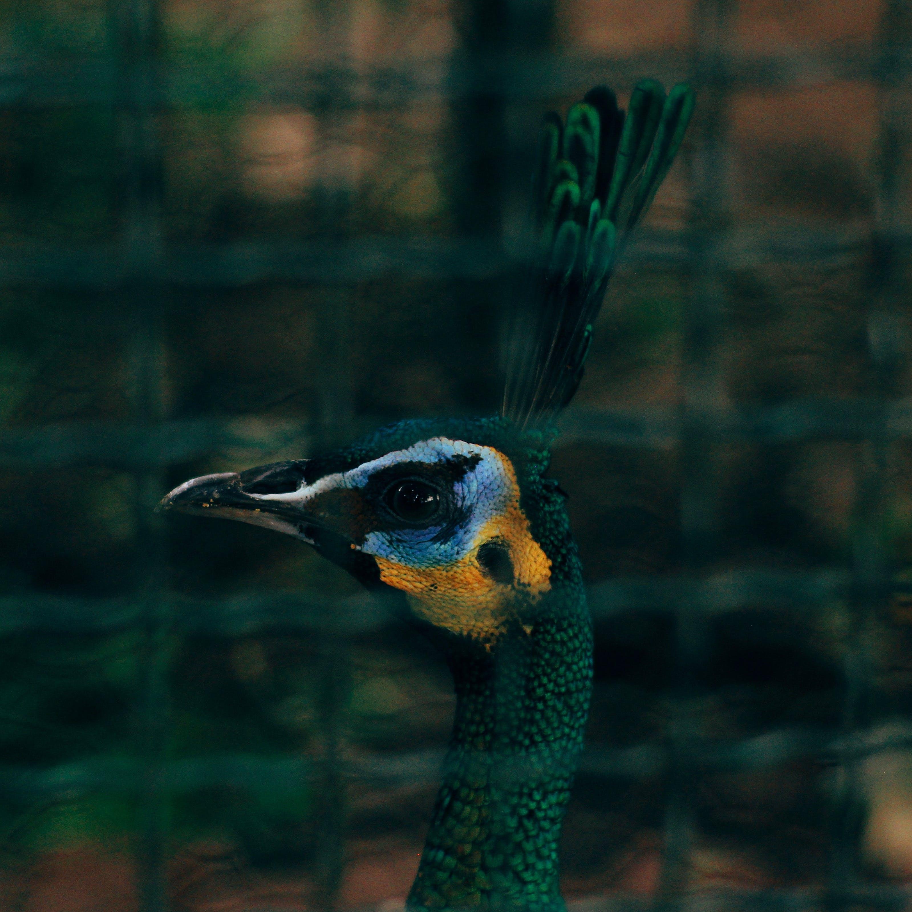 Closeup Photography of Peafowl