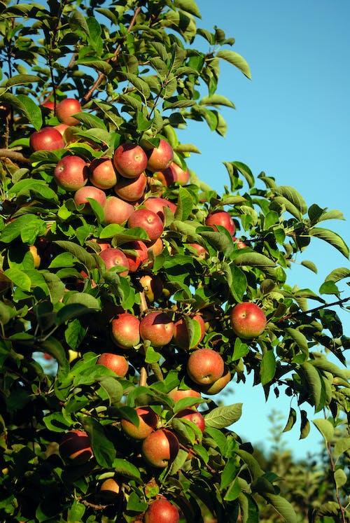 Бесплатное стоковое фото с apple, безмятежный, безоблачный