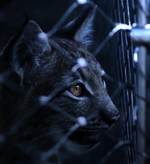 Imagine de stoc gratuită din animal, animal de casă, felină, închis la culoare