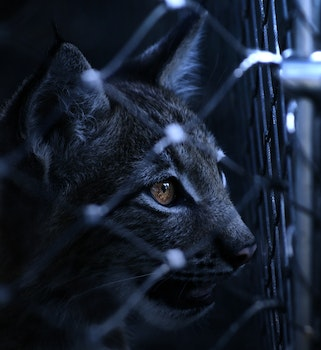 Black Cat on Cyclone Wire Fence