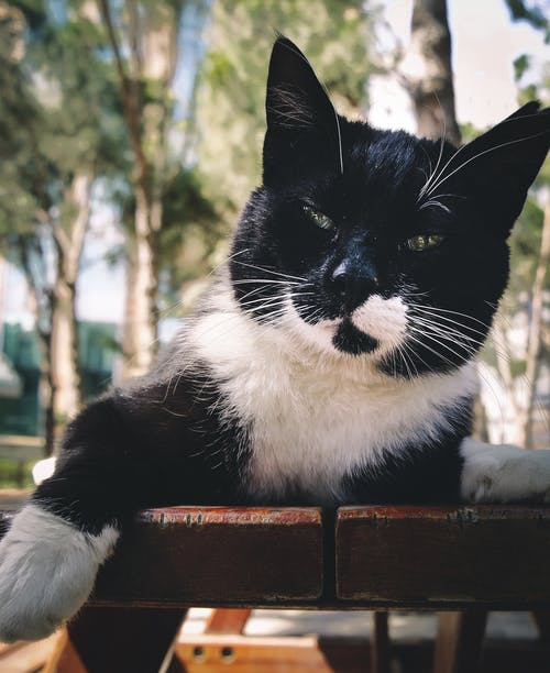 Short-fur Black and White Cat