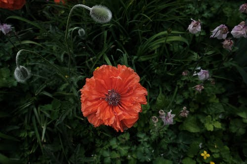 Free stock photo of blow flower, garden, poppies