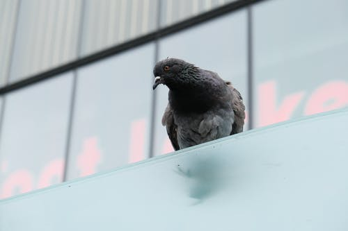Free stock photo of bird, perched bird, pigeon