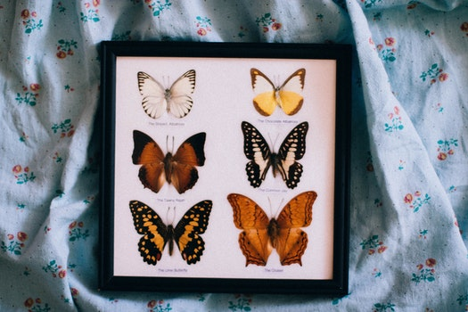 Black Wooden Framed Shadow Box of Butterflies