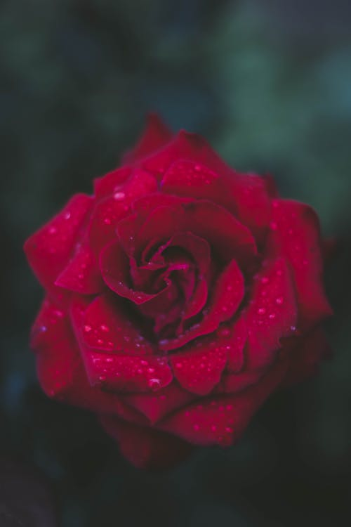 375 Lovely Rose Images Pexels Free Stock Photos