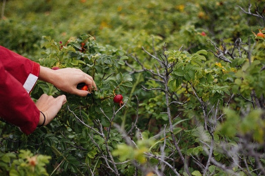 Person Holding Fruit on Plant