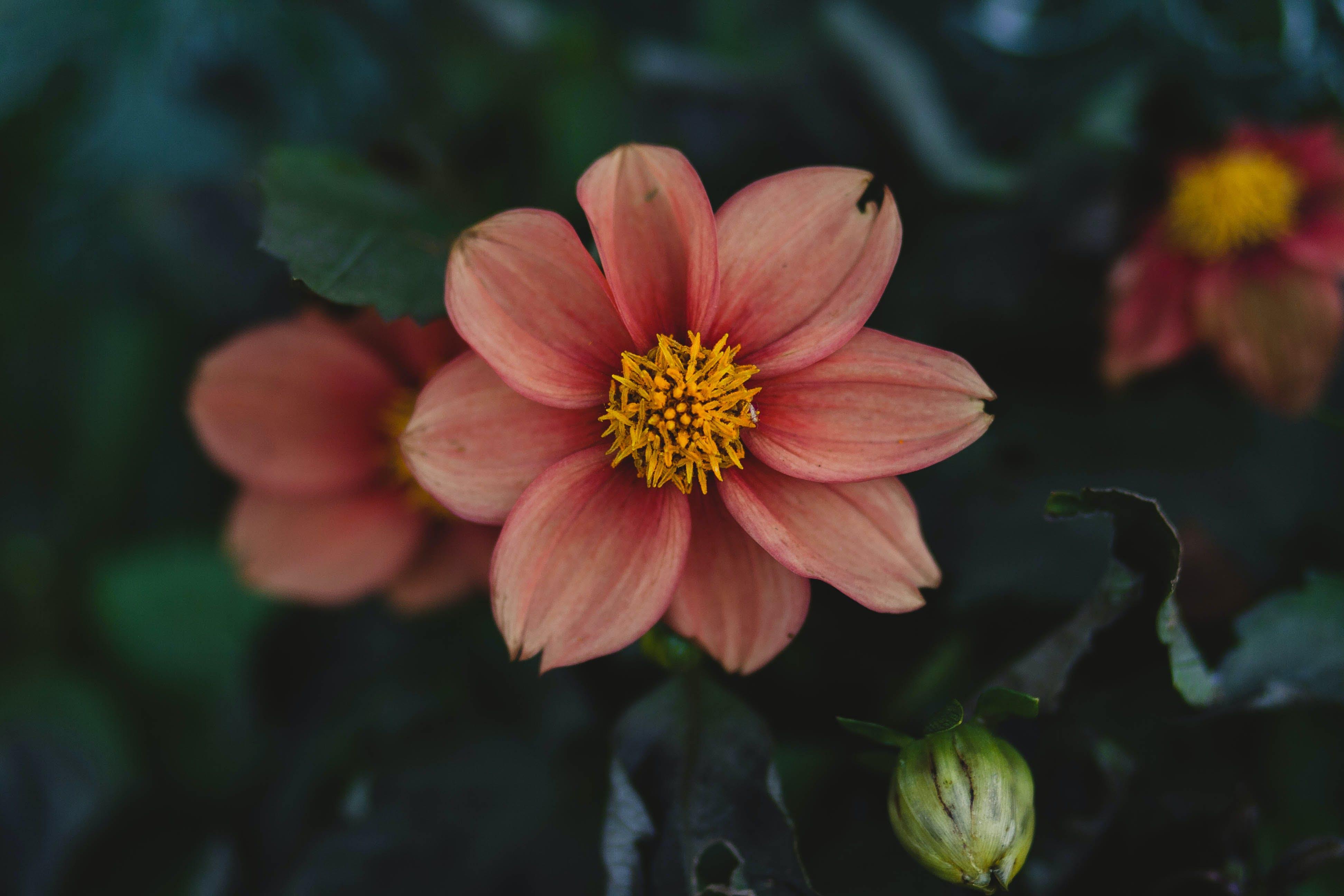 Kostnadsfri bild av blommor, blomning, botanisk, delikat