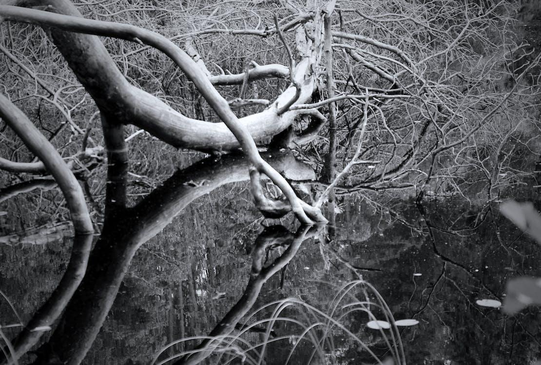 czarno-biały, martwe drzewo, odbicie