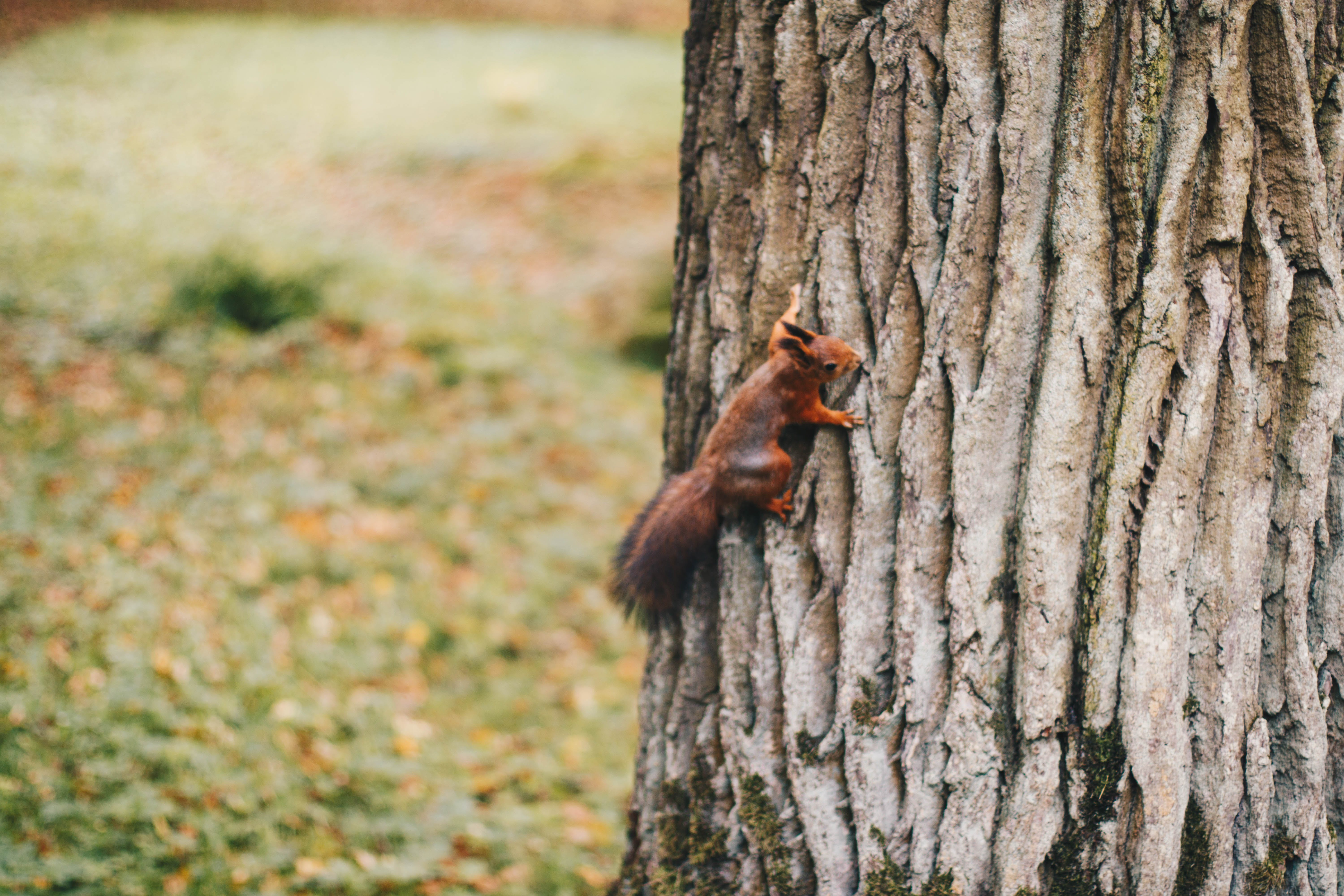 Brown Squirrel Holding on Tree