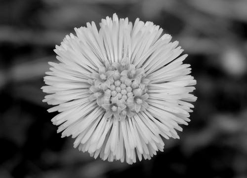 Free stock photo of black and white, flower