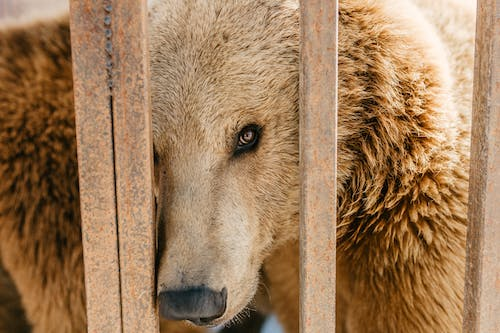Close Up Photo of Brown Bear behind a Fence