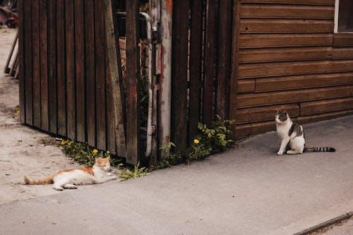 Twee Oranje En Bruine Cyperse Katten Op Grijze Betonnen Stoep