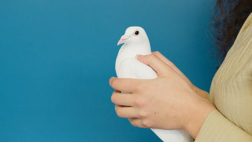 White Dove on a Person's Hands