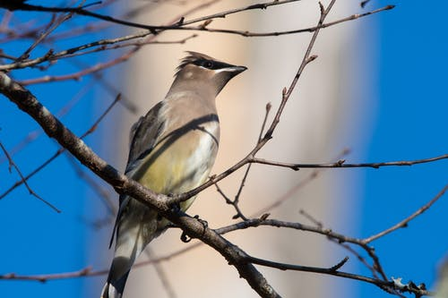 Gratis stockfoto met beest, boom, ceder waxwing, close-up