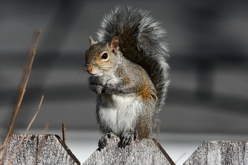 Close-Up Shot of a Cute Squirrel Perched on a Picket Fence