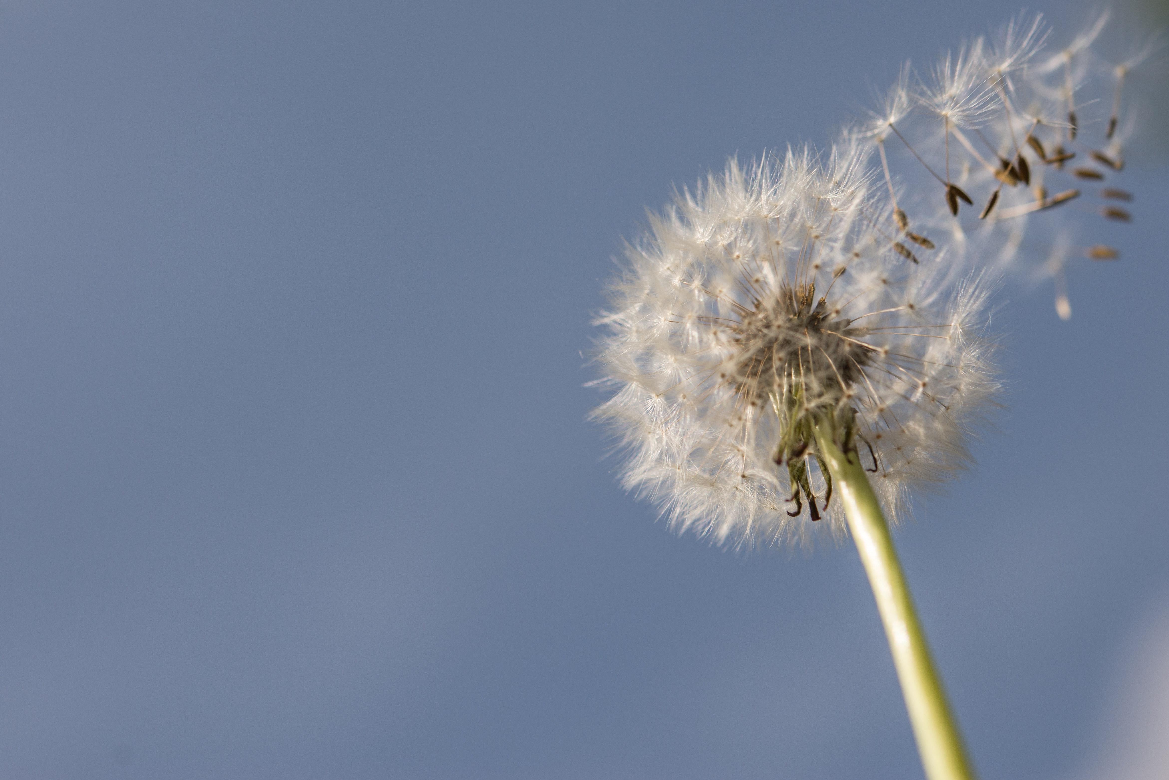 200+ beautiful dandelion photos · pexels · free stock photos