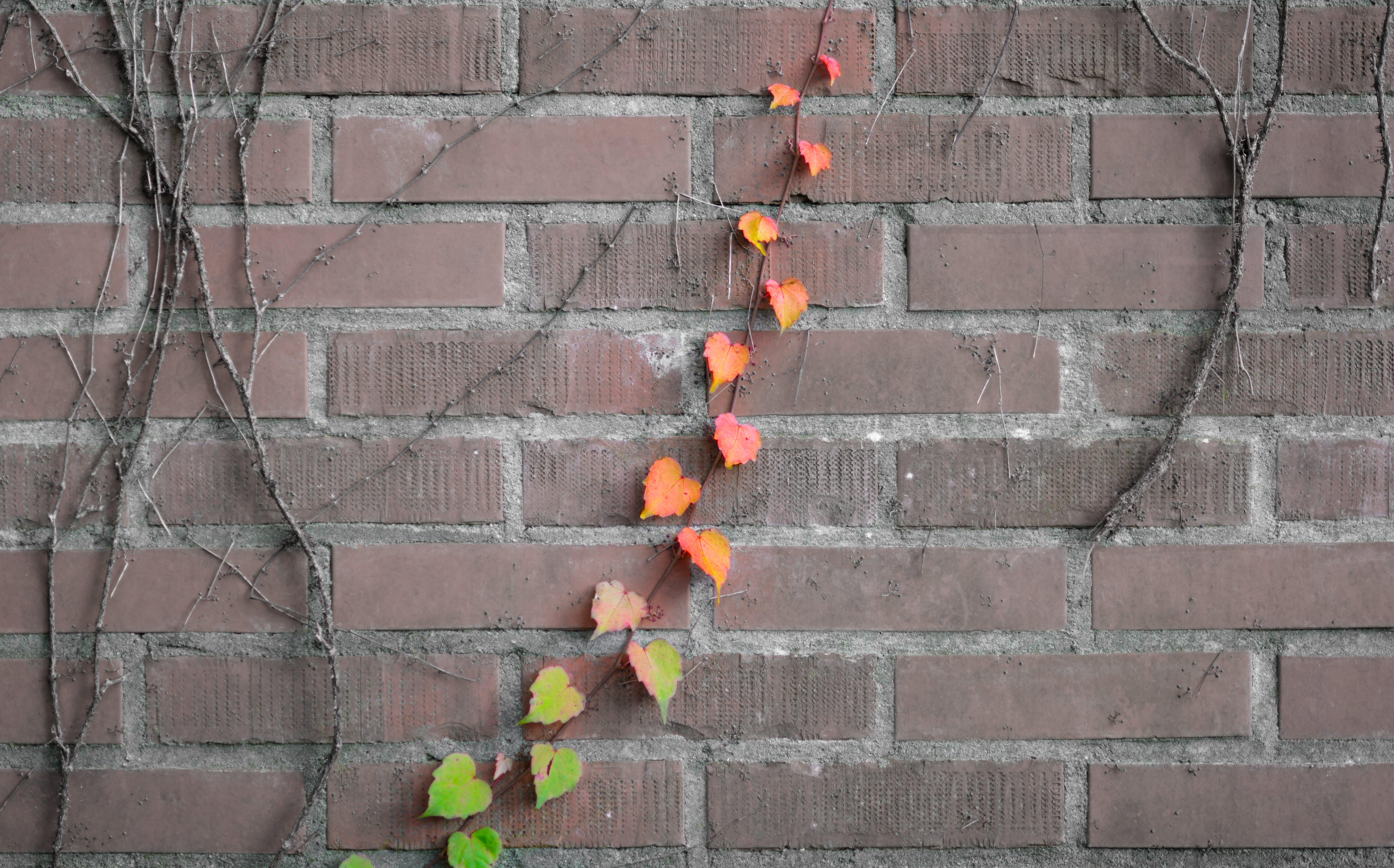 Free stock photo of wall, plant, raindrops, climbing plant