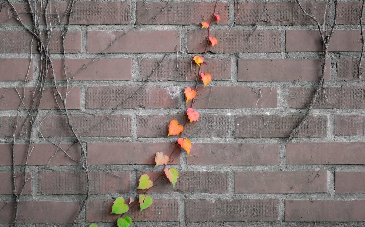 Free stock photo of brick, clamberer, climbing plant