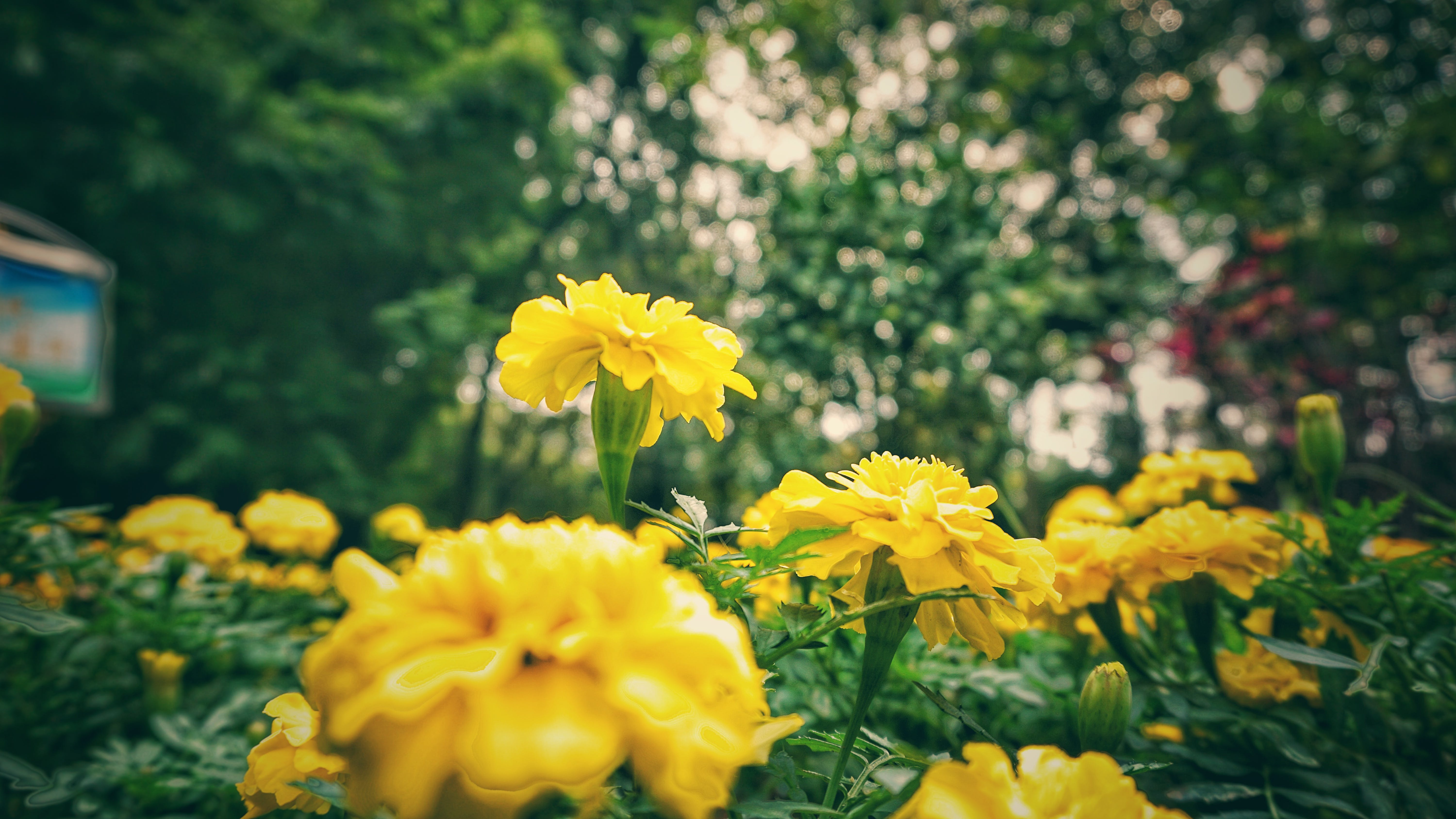 Shallow Focus of Yellow Flowers