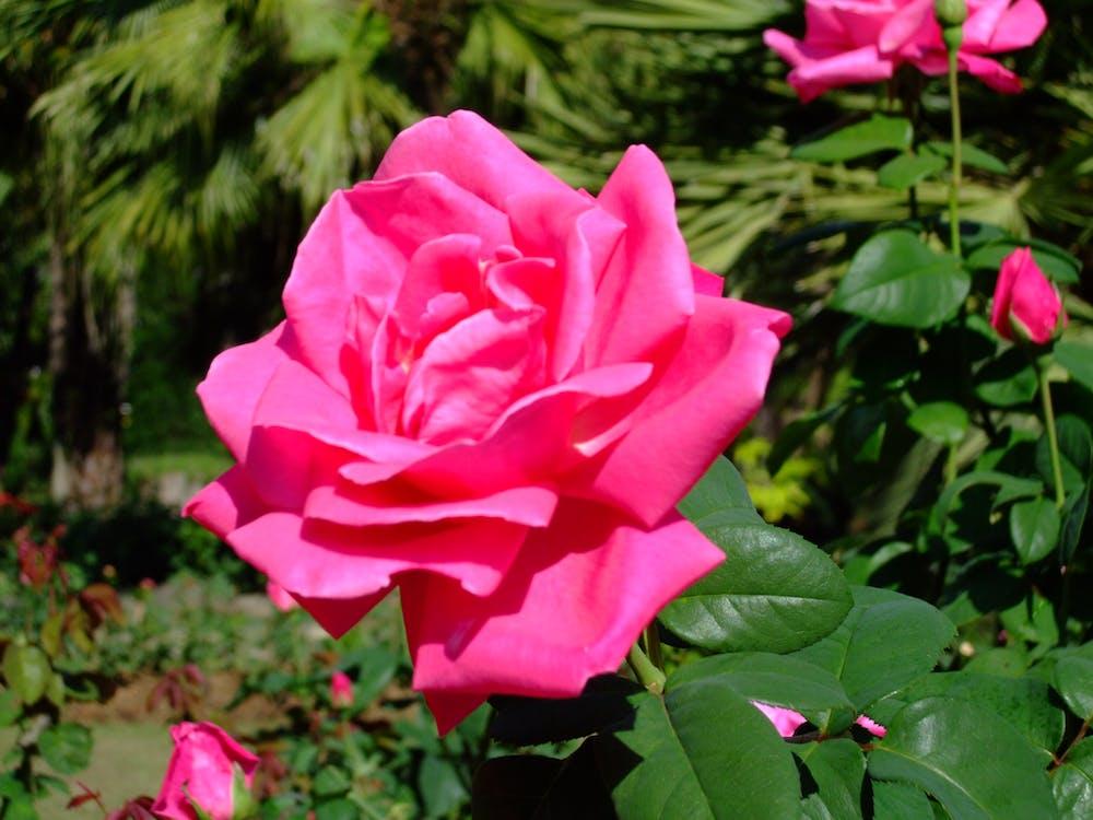 Free stock photo of flower, garden, thailand
