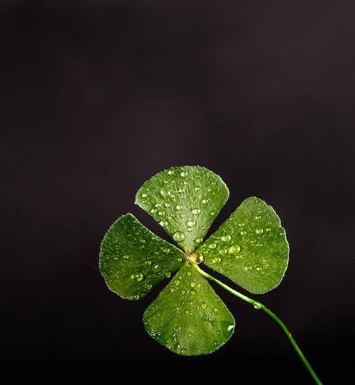 Imagine de stoc gratuită din fotografie de aproape, noroc, norocos, plantă