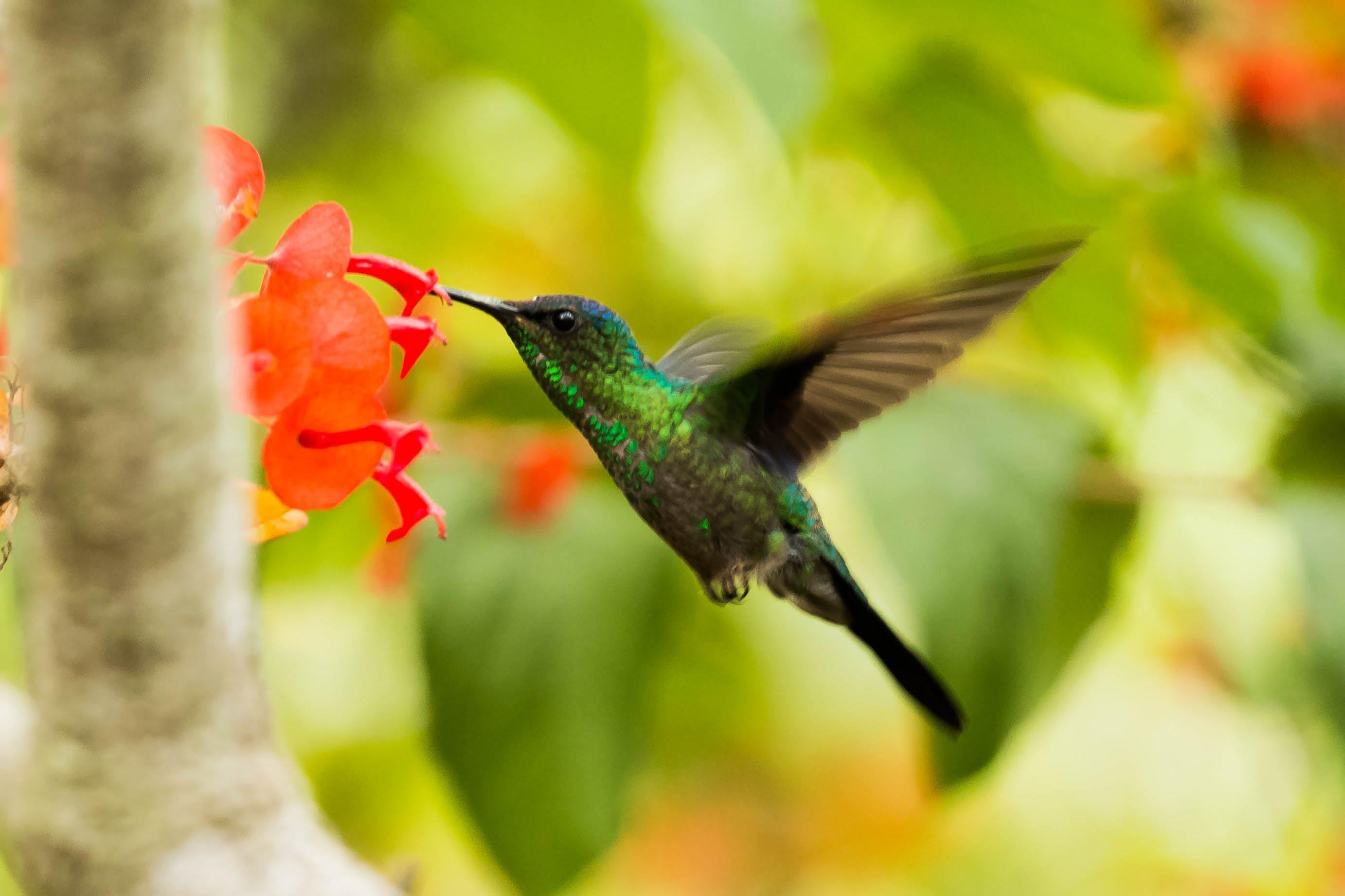 Ingyenes stockfotó állat, amparo sao paolo, Brazília, kolibri témában