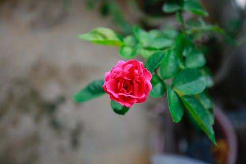 Gratis arkivbilde med rose