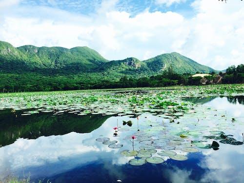 Gratis arkivbilde med lotus innsjø