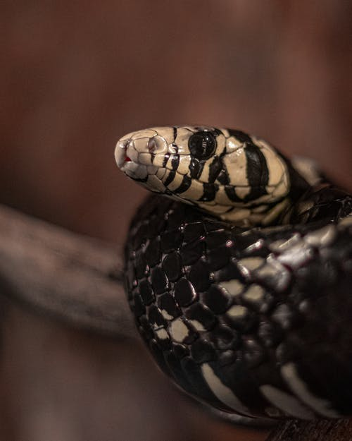 Free stock photo of animal, cobra, deadly