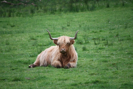Brown and White Highland Cattle