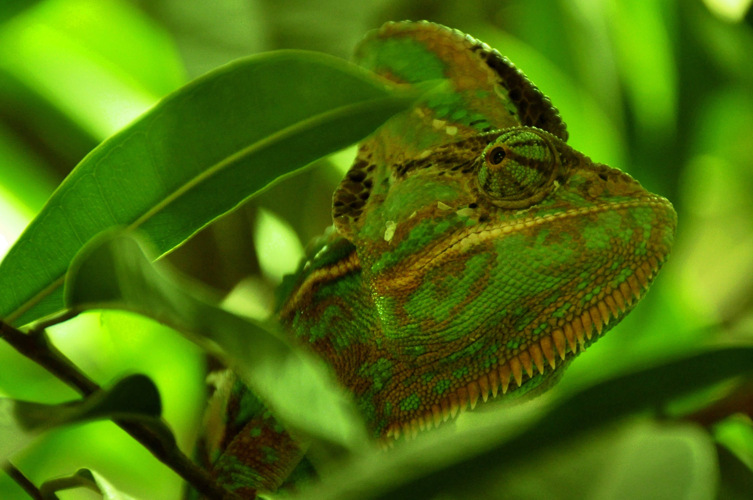 Green and Yellow Chameleon Close Up Photography