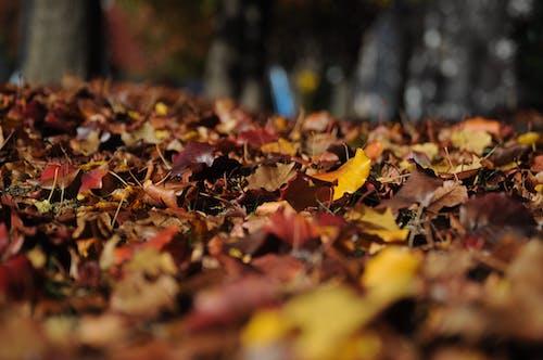 Foto d'estoc gratuïta de fullatge, fulles seques