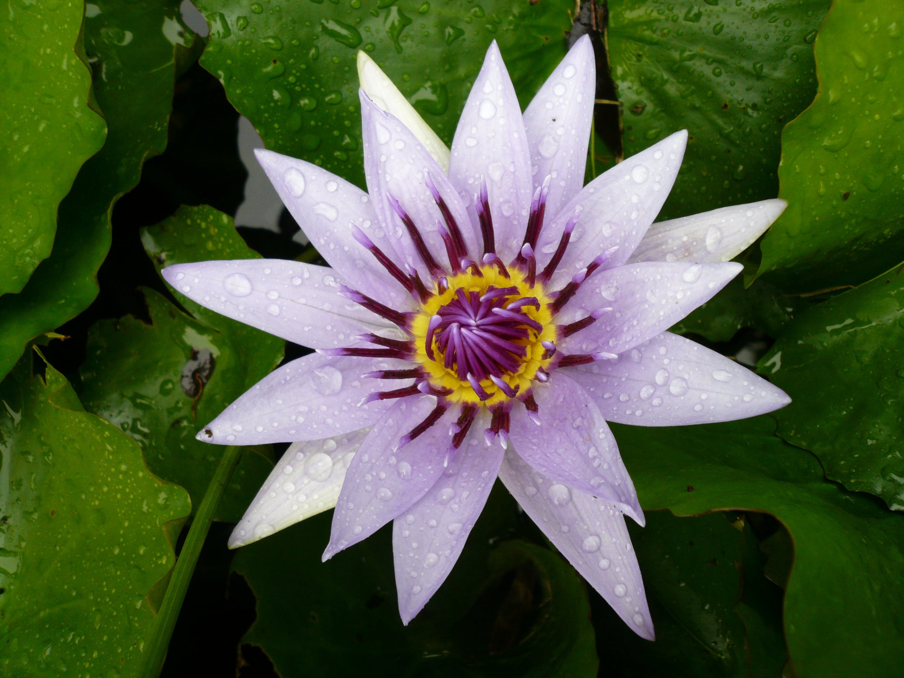 Purple and White Petals Flower