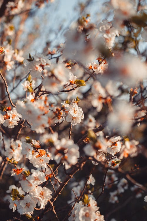 Blooming flowers on cherry tree in garden
