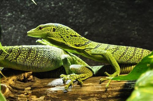 トカゲ, マクロ, 緑, 閉じるの無料の写真素材