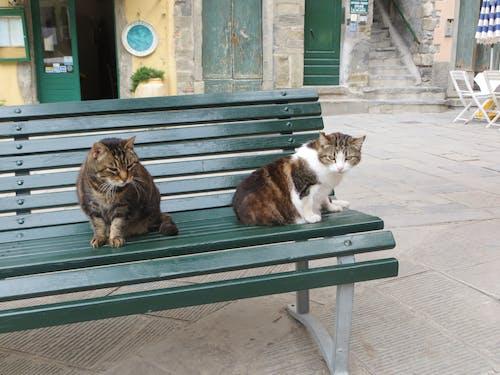 Immagine gratuita di cinque terre, gatti, italia, vernazza