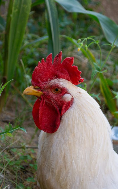 Close-Up Shot of a White Rooster
