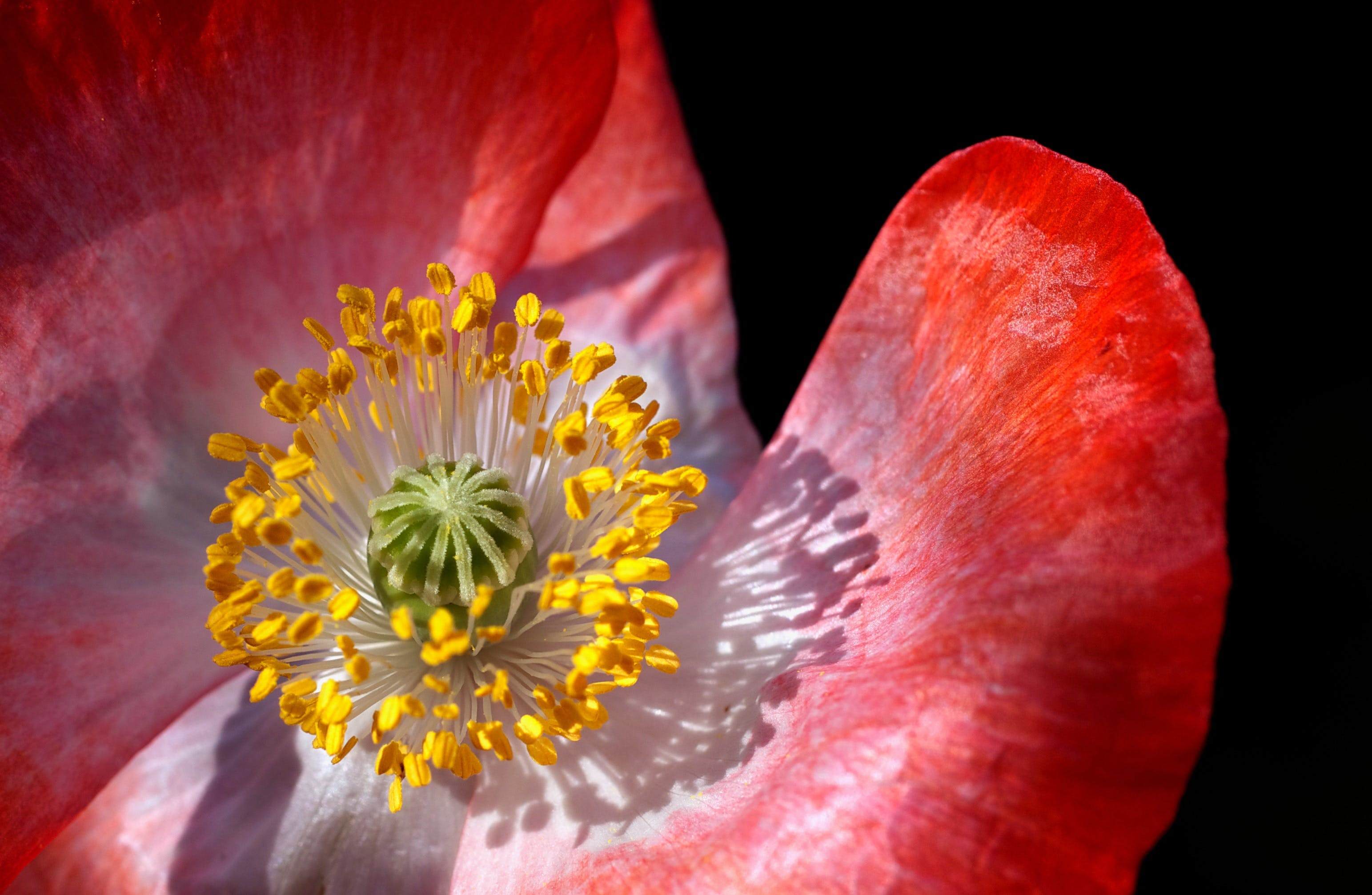 植物群, 特寫, 綻放, 罌粟 的 免费素材照片