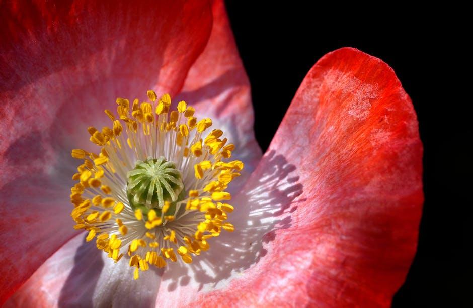 New free stock photo of flower, poppy, bloom