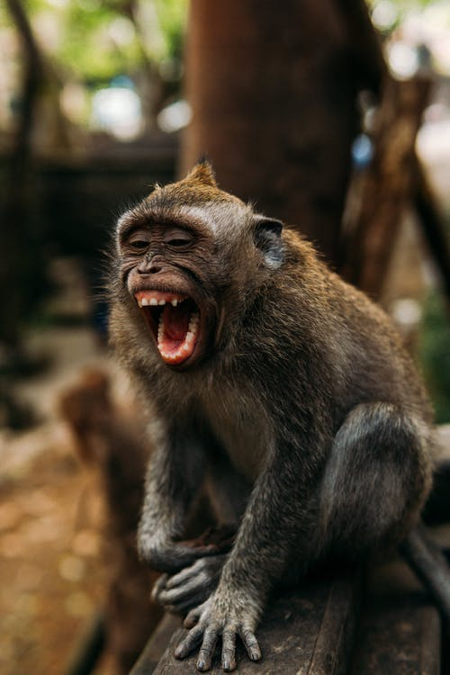 Cute monkey with open mouth shouting while sitting on shabby wooden board in zoological park with trees on blurred background
