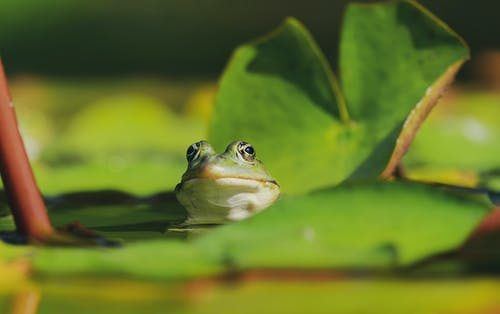 Head of a Frog Over Water