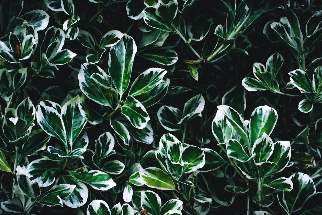 Green and White Leaves