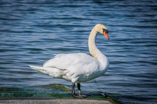 アヒル, 動物, 水の無料の写真素材